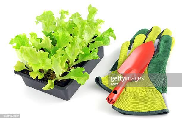 Jeune pousse Lollo Bionda Salat avec gants de jardin et Truelle