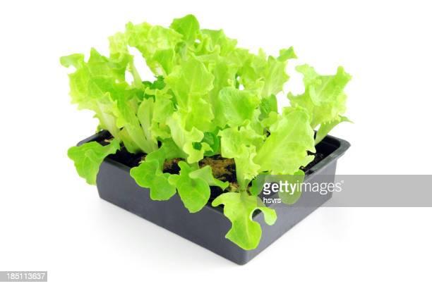 Jeune pousse de Lollo Bionda Salat plantes en pot de fleur
