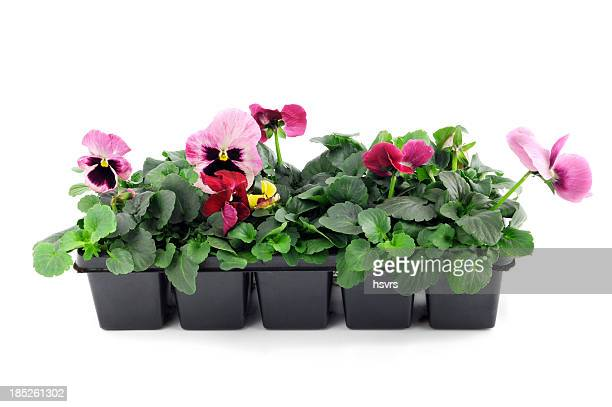 seedling of pink pansy Flower pot on isolated white background