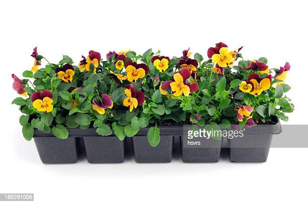 seedling of purple orange pansy viola flower in pot - pansy stock pictures, royalty-free photos & images