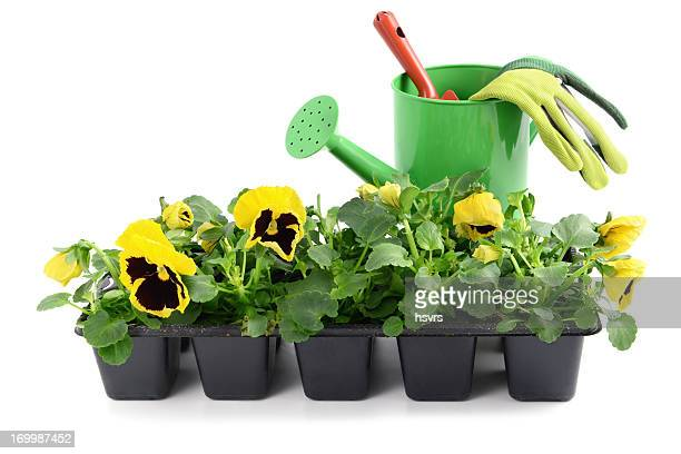seedling pansy Flower in pot with gardening trowel and gloves