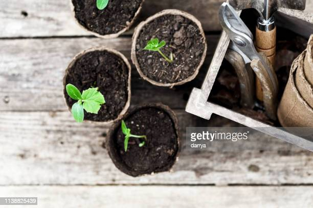 seedling ready to be planted in the garden - potting stock pictures, royalty-free photos & images