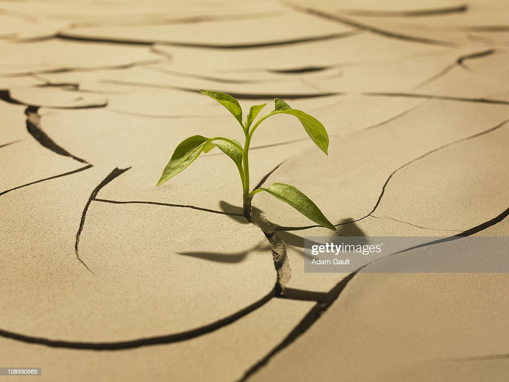 Seedling sprouting from cracked mud : Stock Photo