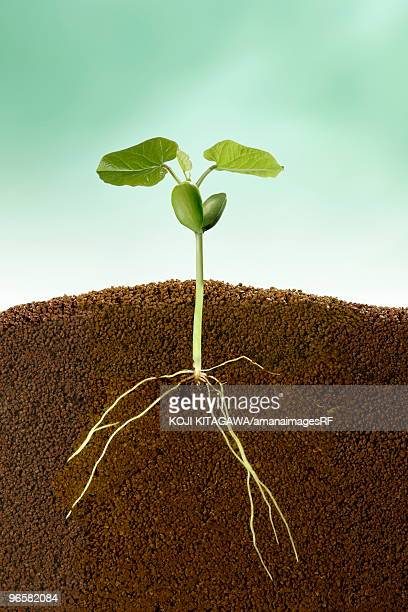 Seedling with roots, close up