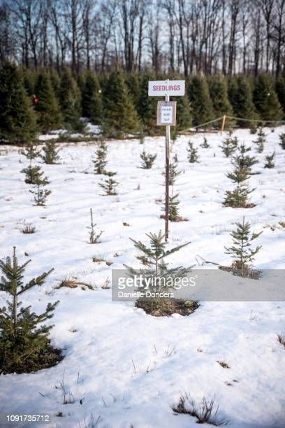 Seedlings at a Christmas tree farm in winter