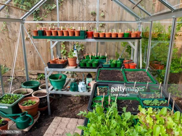 Seedlings growing in an amateur gardener's greenhouse in spring.