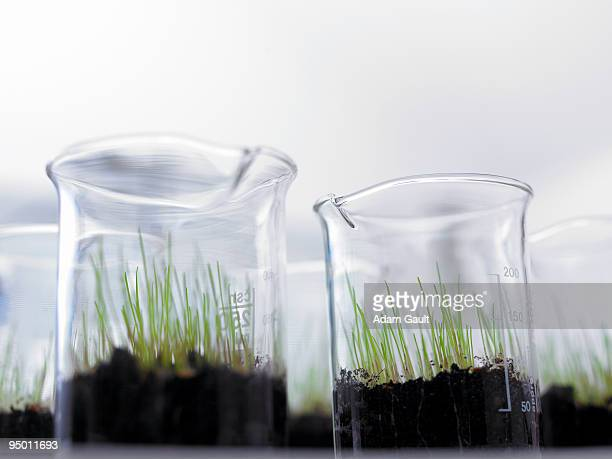 Seedlings growing in beakers