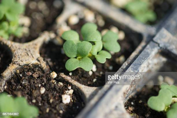 Seedlings growing in seed flats in a green house