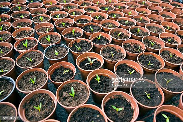 Seedlings growing in the prisoner run greenhouse at HMP Downview HM Prison Downview is a women's closed category prison Downview is located on the...