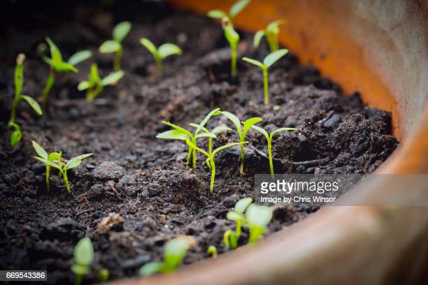 seedlings in pot - cultivated stock pictures, royalty-free photos & images