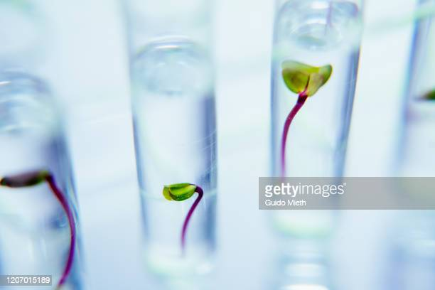 seedlings in test tubes in laboratory. - material stock pictures, royalty-free photos & images
