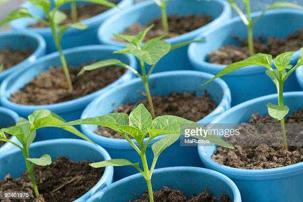 Seedlings of pepper in the pots