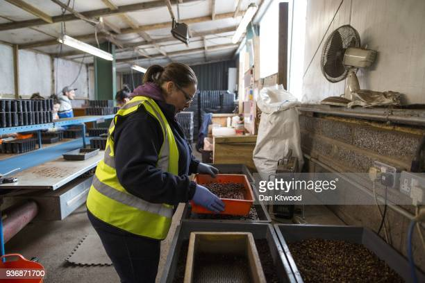 Seeds are graded at Cheviot Trees before being propagated and eventually sent to the Doddington North site on March 21 2018 in Berwick Upon Tweed...