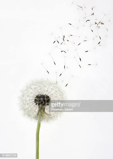 Seeds float up from dandelion seed head, on white