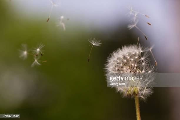 Seeds flying off dandelion seed head, Vienna, Austria