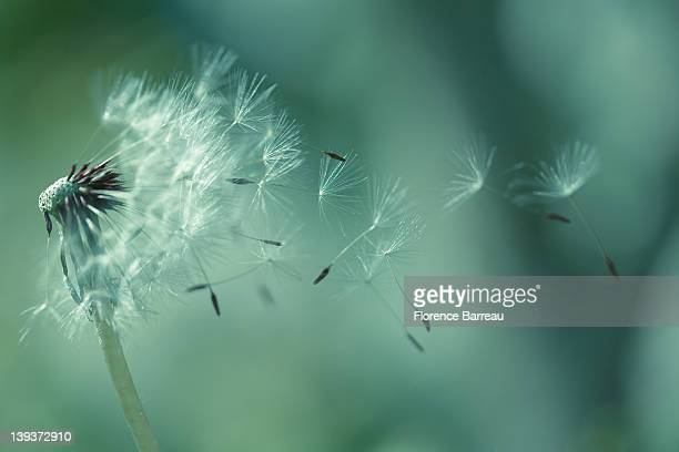 Seeds of dandelion
