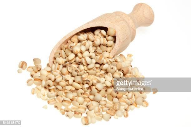 Seeds Of The Medicinal Plant Adlay Adlay Millet Job's Tears Yi Yi Ren Coix Lachrymajobi