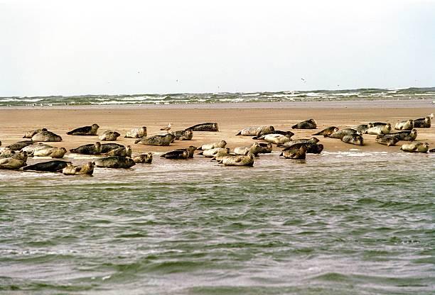 Seehundbank im Wattenmeer Pictures   Getty Images