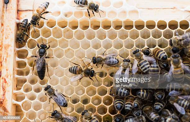 Seen at the left of this honeycomb a large queen bee can lay up to 1500 eggs each day to keep a hive stocked on August 7 2015 in Skelton England...