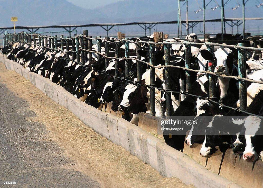 Preliminary Tests Confirm Mad Cow Diagnosis : Nieuwsfoto's