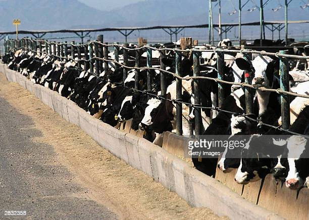 Seen in this handout photo cows are seen in a confined feeding operations in Yuma Arizona The US Department of Agriculture announced December 25 2003...