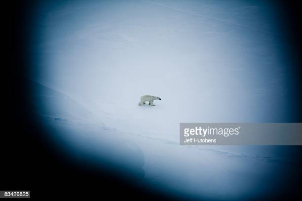 Seen through a helicopter window a polar bear crosses the Alaskan tundra north of the Arctic Circle on May 1 2007 in Kaktovik Alaska