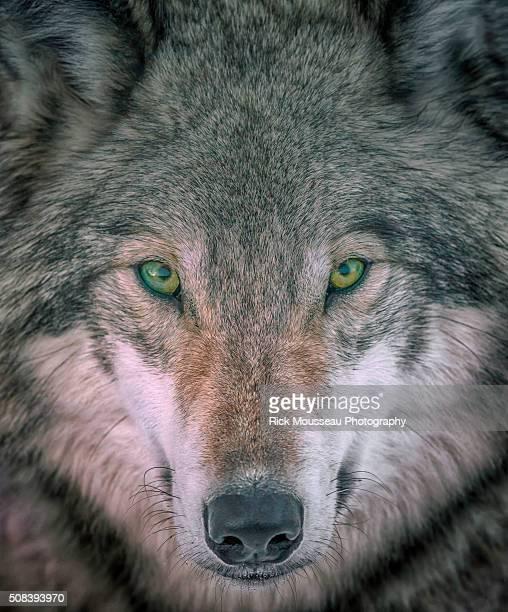 Seer; Gray Wolf