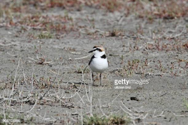 Seeregenpfeifer Altvogel auf Schlickflaeche stehend links sehend