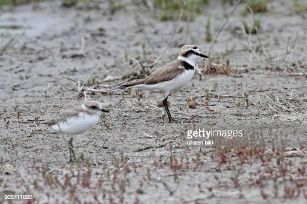 Seeregenpfeifer Altvogel mit Jungvogel auf Schlickflaeche stehend rechts sehend