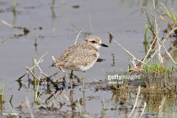 Seeregenpfeifer Jungvogel in Wasser stehend rechts sehend