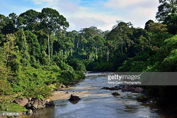 segama river and primary rain forest in danum valley - dipterocarp tree stock pictures, royalty-free photos & images
