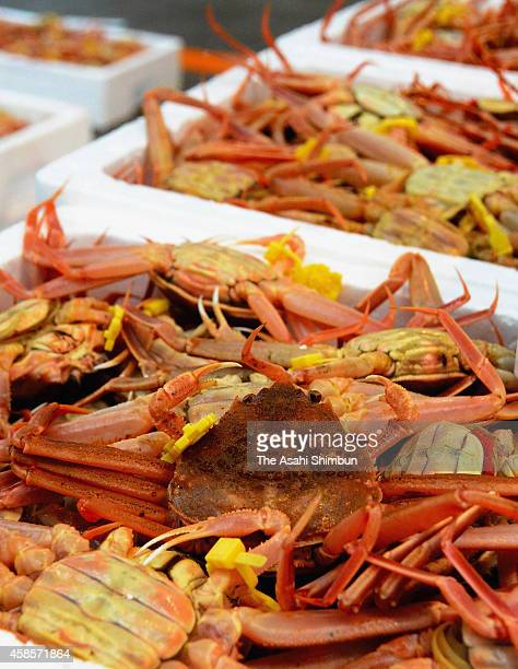 Seiko Gani female snow crabs are seen for auction as its fishing season begins at Echizen Fish Port on November 6 2014 in Echizen Fukui Japan The...