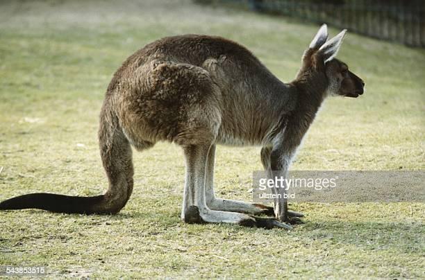 Seitenansicht eines Kängurus im Außengehege des Berliner Zoos Aufgenommen März 1992