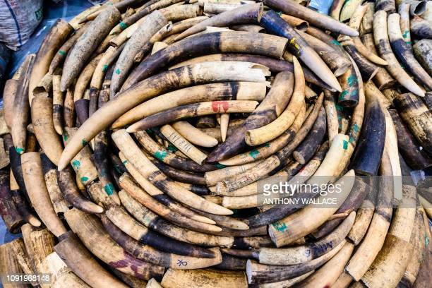 Seized ivory elephant tusks are displayed during a press conference at the Kwai Chung Customhouse Cargo Examination Compound in Hong Kong on February...