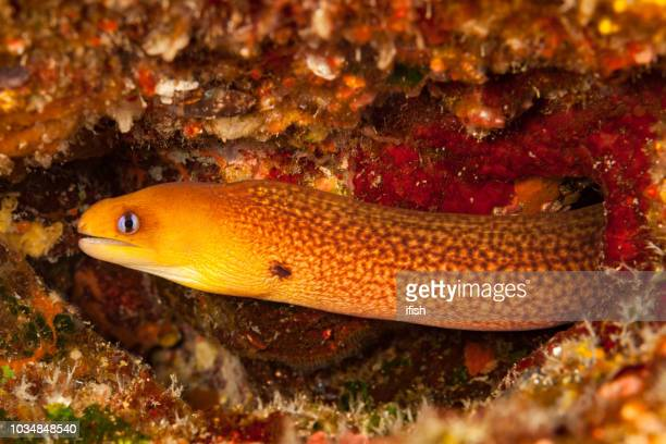 seldom seen solitary and secretive dwarf moray gymnothorax melatremus, big island, hawaii - saltwater eel stock photos and pictures