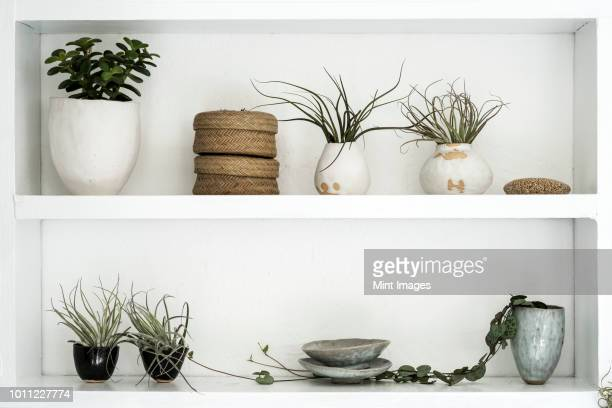 selection of air plants in  terracotta pots and a string of hearts plant on shelves in a plant shop. - bromeliad stock photos and pictures