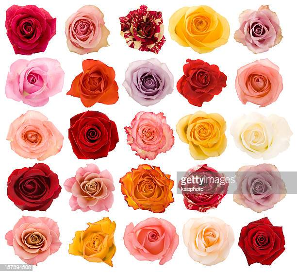 selection of beautiful roses - flower head stock pictures, royalty-free photos & images