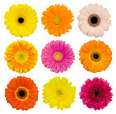 Selection of isolated Gerberas