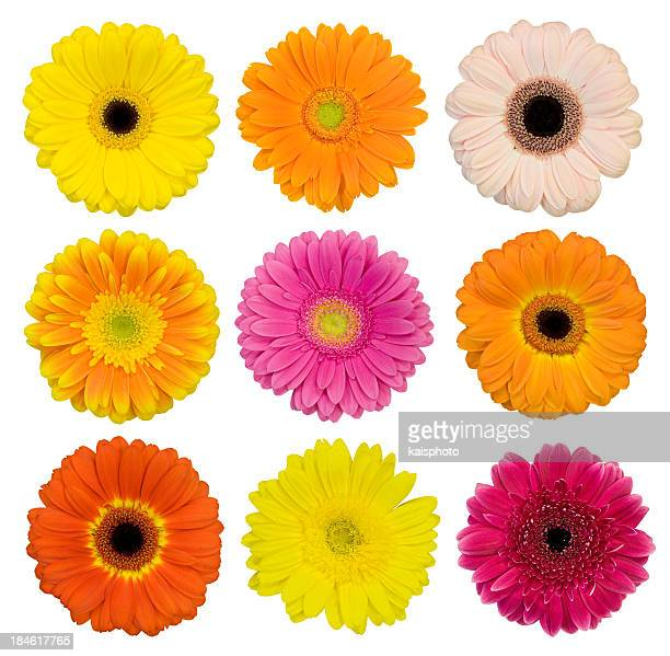 selection of isolated gerberas - gerbera daisy stock pictures, royalty-free photos & images
