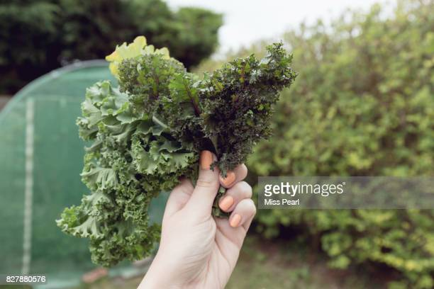Selection of organic kale leaves held up in garden