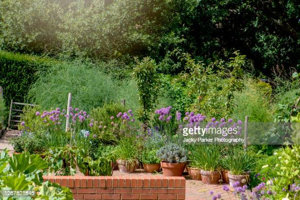 a selection of terracotta plant pots containing summer flowering purple allium flowers - plant pot stock pictures, royalty-free photos & images