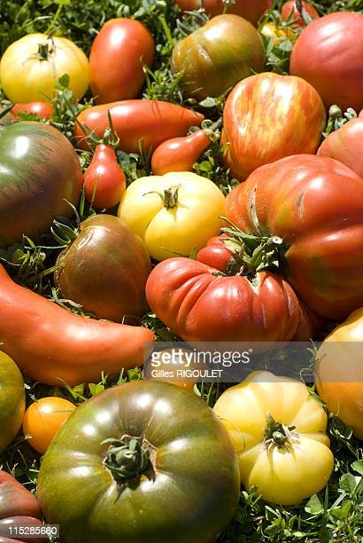 Selection of tomatoes on August 2009 in Conservatory of Tomato, Castle de la Bourdaisiere, Montlouis sur Loire, France. Conservatory of Tomato Grows...