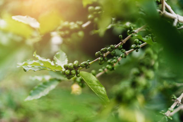 selective focus green beans of arabica coffee growing at high attitude mountain  1400-1500 m from the sea level
