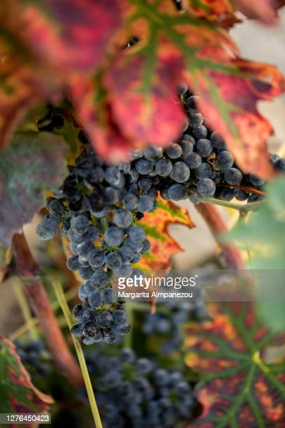selective focus on red grapes on vine - ヴォー州 ストックフォトと画像