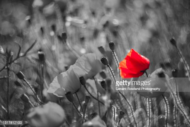 selective poppy artwork - remembrance day stock pictures, royalty-free photos & images