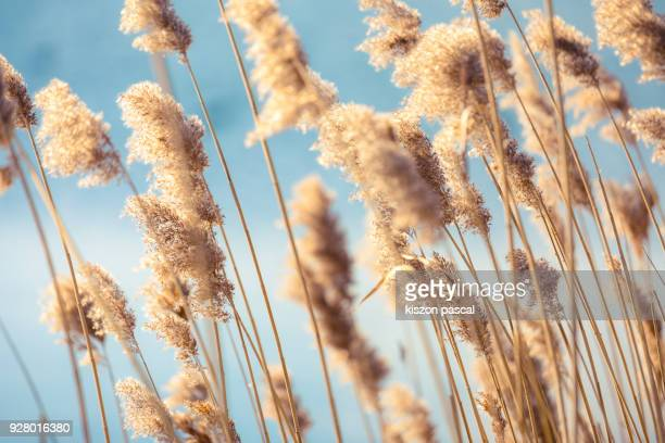 selective soft focus of dry grass reeds stalks at sunset light - gras stock pictures, royalty-free photos & images