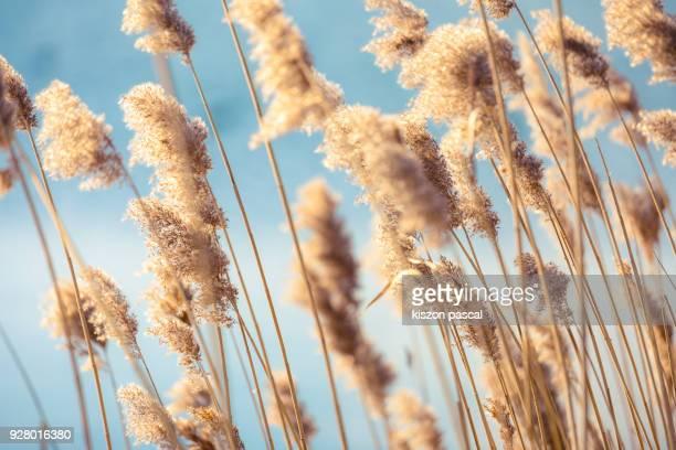 Selective soft focus of dry grass reeds stalks at sunset light