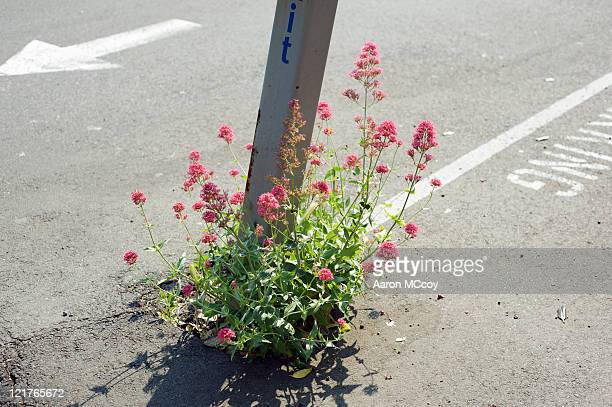 Self-seeded flowers growing from crack in pavement. June