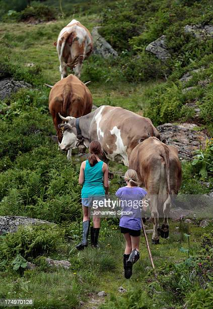 Selina Riedmann daughter of Alpine cattle herder Martin Riedmann and her fried Hanna guide cows from a meadow to the barn of alpine dairy Alpe Albona...