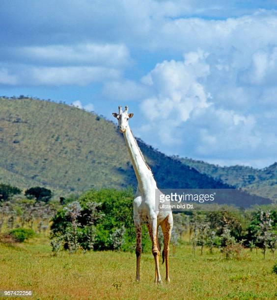 Seltener Anblick ein albinotischer Giraffenbulle Giraffa camelopardalis in der Baumsavanne des Serengeti Nationalparks